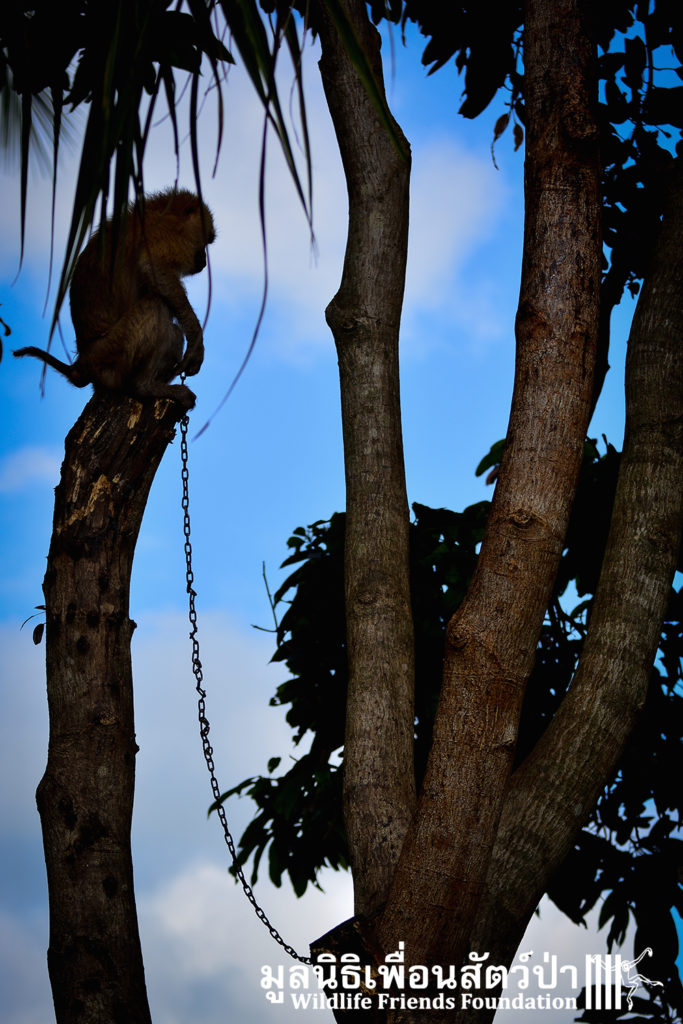 Macaque rescue Lamai samui 020416 10 B
