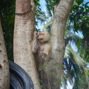 Macaque Rescue Lamai Samui 020416 12 B