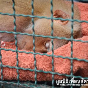 Macaque Rescue Lamai Samui 020416 17 B