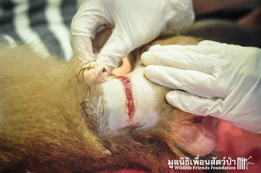 Macaque rescue Lamai samui 020416 21 B