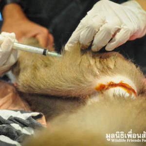 Macaque Rescue Lamai Samui 020416 22 B