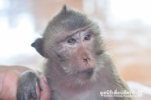 Macaque rescue Lham 260316 612