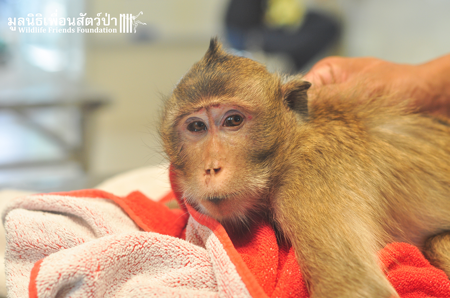Macaque Rescue Lham 260316 668
